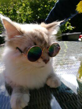 """Tips om je kattenvriendje(s) koel te houden: – – houd de (rol) gordijnen dicht – zorg voor voldoende vers drinkwater – schaf een koelmatje aan – Ventilator of airco op een niet te koude stand aan – natte handdoek om op te liggen – fles koud water met een handdoek erom waar ze tegen aan kunnen kruipen – even niet spelen, laat de kat zijn eigen koele plek opzoeken en laat hem/ haar met rust – Een bakje of teiltje met water met (bewegende) speeltjes uiteraard waterbestendig (bv robot visjes) vinden ze ook altijd erg leuk – katten ijsjes worden afgeraden ivm """"brain freeze"""" (knallende snijdende hoofdpijn)"""